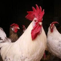 gallo romagnolo2-1024x977