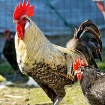 gallo-romagnolo3